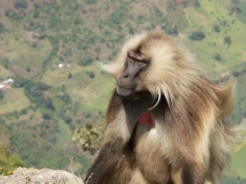 Gelada Monkeys – Exclusive to Ethiopia!